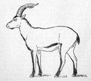Cabra montés portuguesa