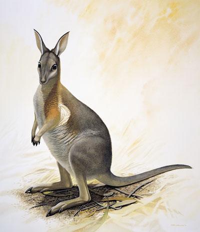 canguro rabipilado occidental