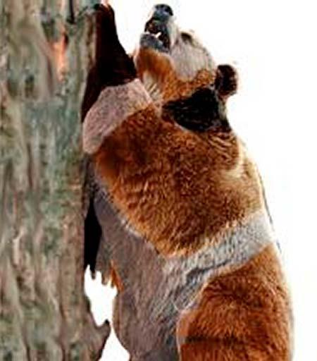 oso mexicano
