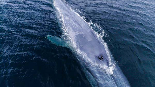 respiracion de la ballena azul fosas nasales
