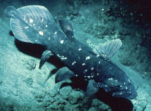 celacanto especie