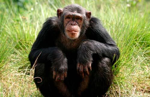 chimpance pan