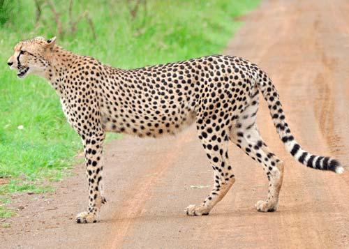 chita-guepardo poblacion