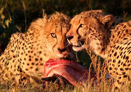 alimentacion guepardos comiendo