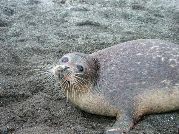 foca del caspio