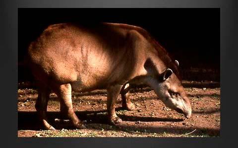 foto tapir