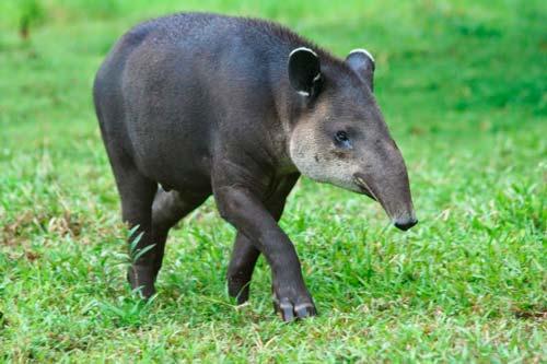 tapir feliz bebe