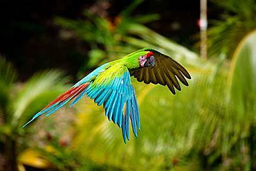 guacamaya-verde-volando en peligro