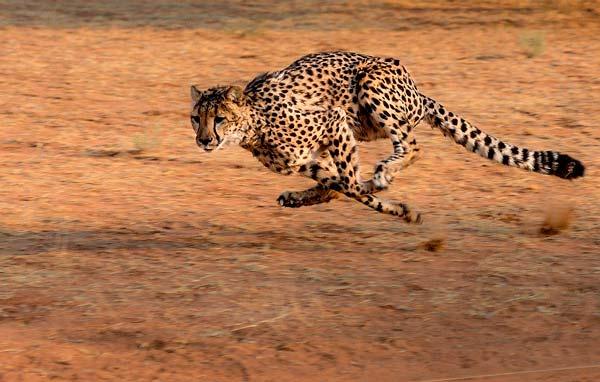 guepardo-chita-corriendo