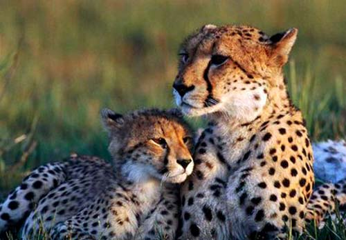 guepardo chita