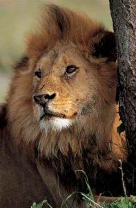 leon africano