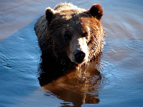 oso pardo - Ursus arctos