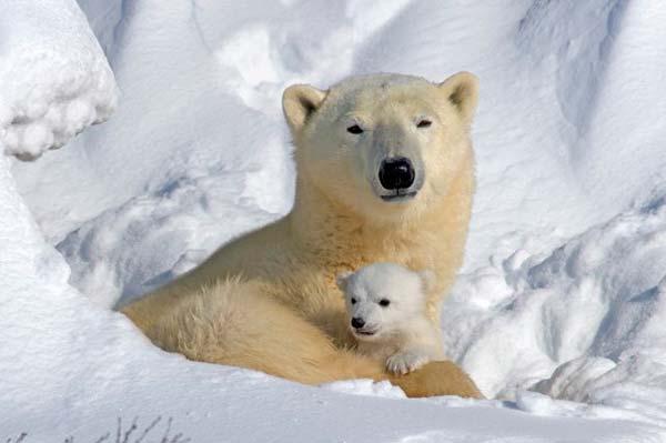 oso polar con bebe