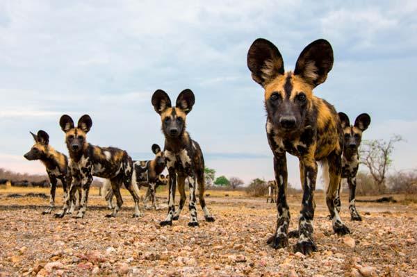 perro-salvaje-africano