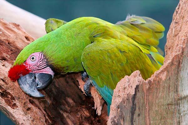 guacamayo-verde