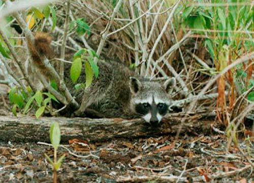 mapache-cozumel